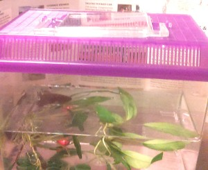 How to travel with a betta fish finley b fish for How much are betta fish at petco