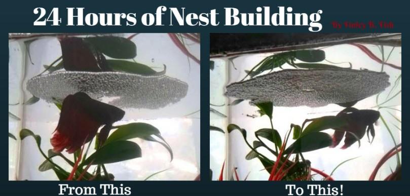 About betta fish bubble nests finley b fish for Betta fish bubbles
